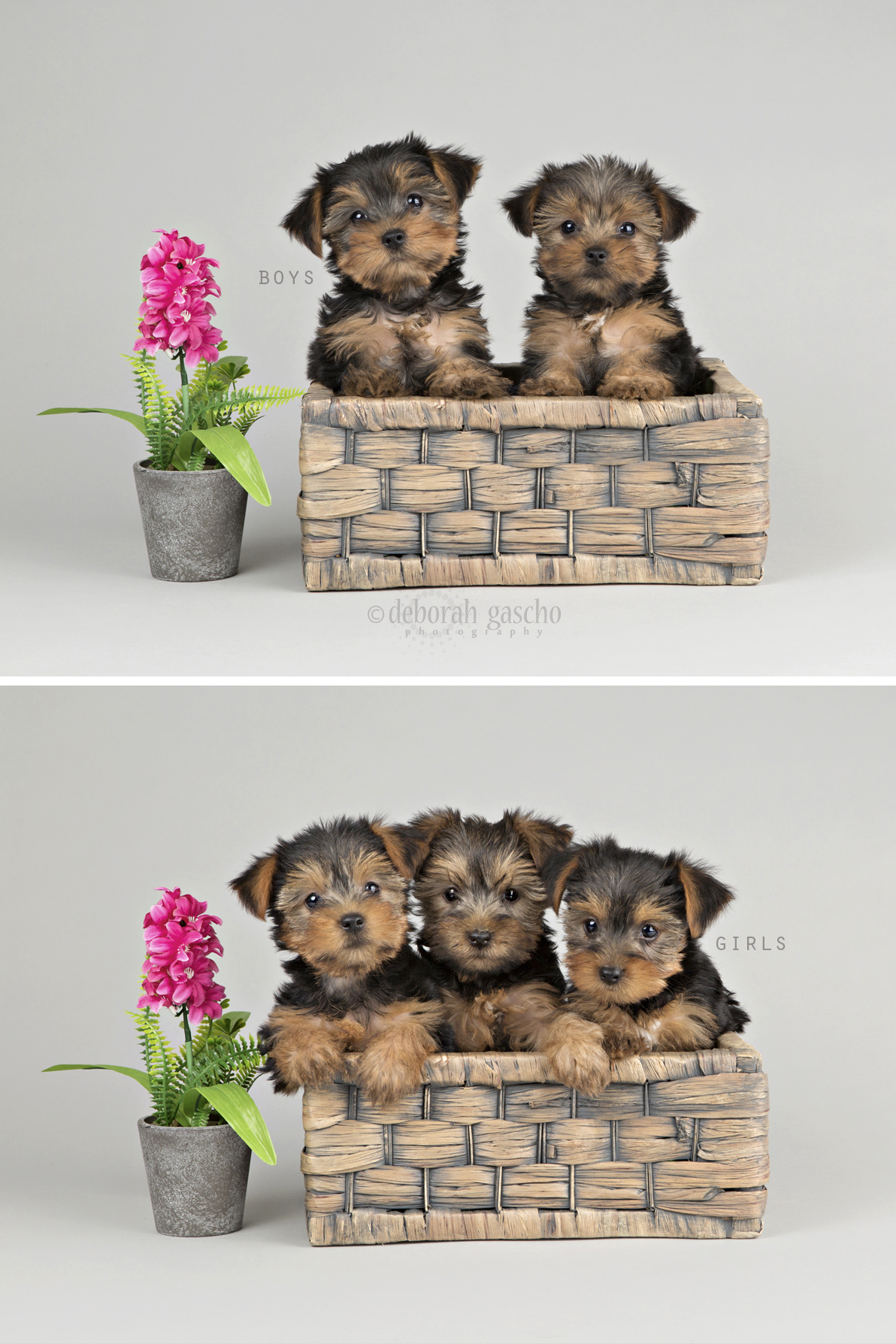 """alt=""""yorkie puppies for sale in ontario"""""""