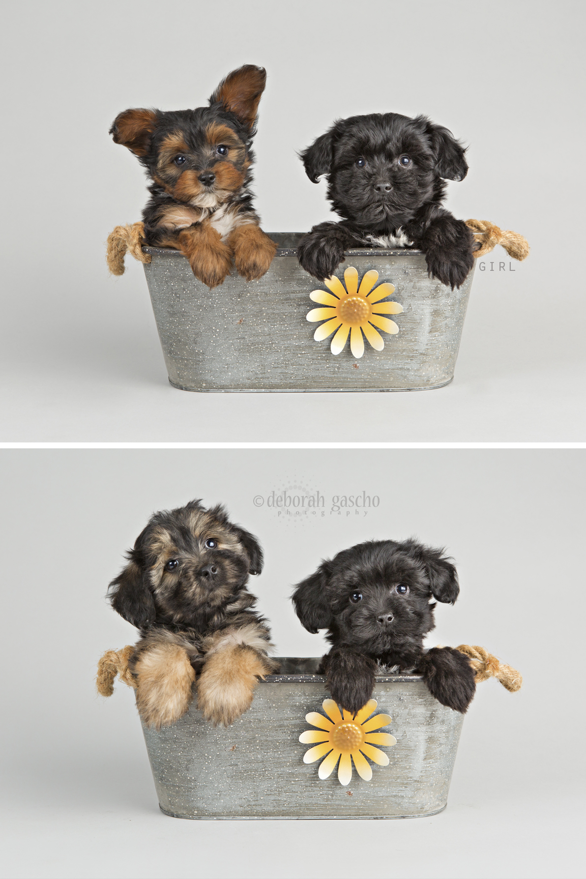 """alt=""""yorkie poo puppies for sale in ontario"""""""