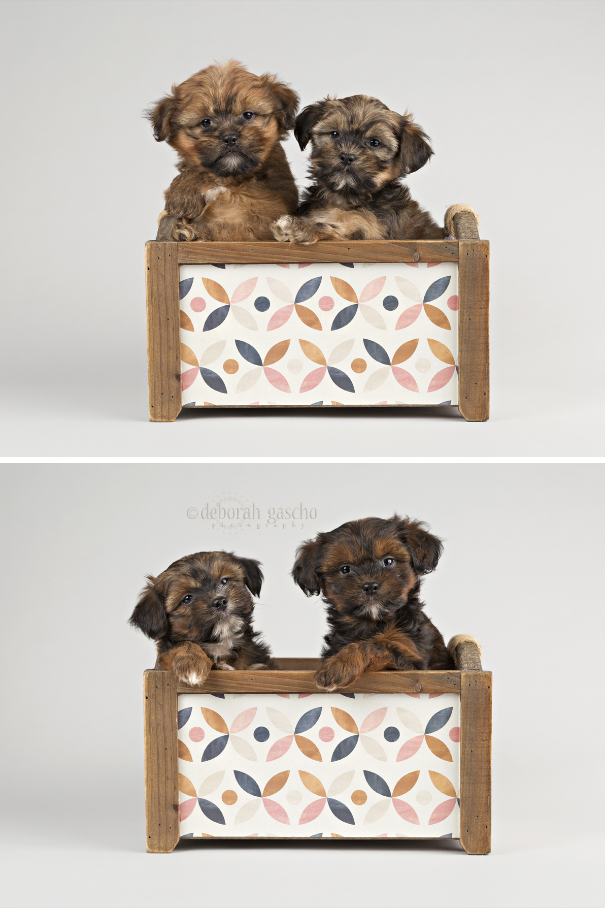 """alt=""""shorkie puppies for sale in ontario"""""""