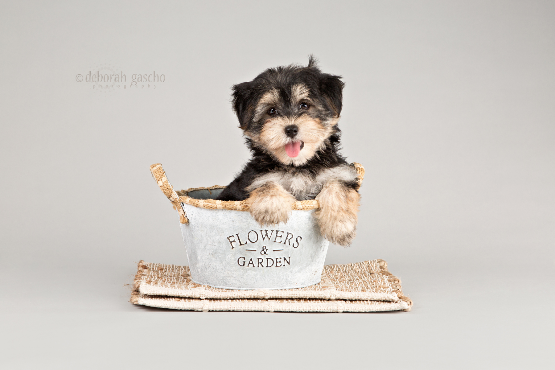 """alt=""""morkie puppies for sale willowbrook kennel"""""""