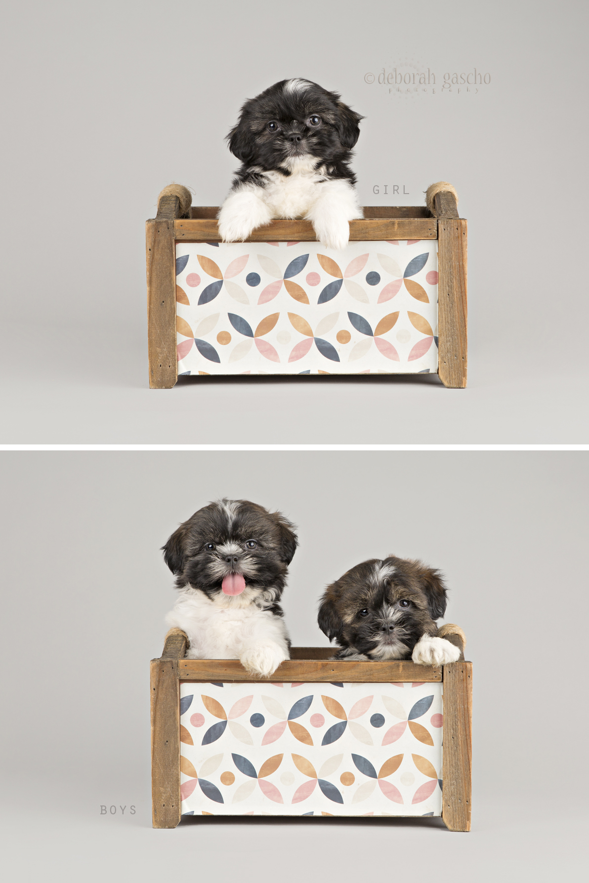 "alt=""shih tzu puppies for sale willowbrook kennel"""