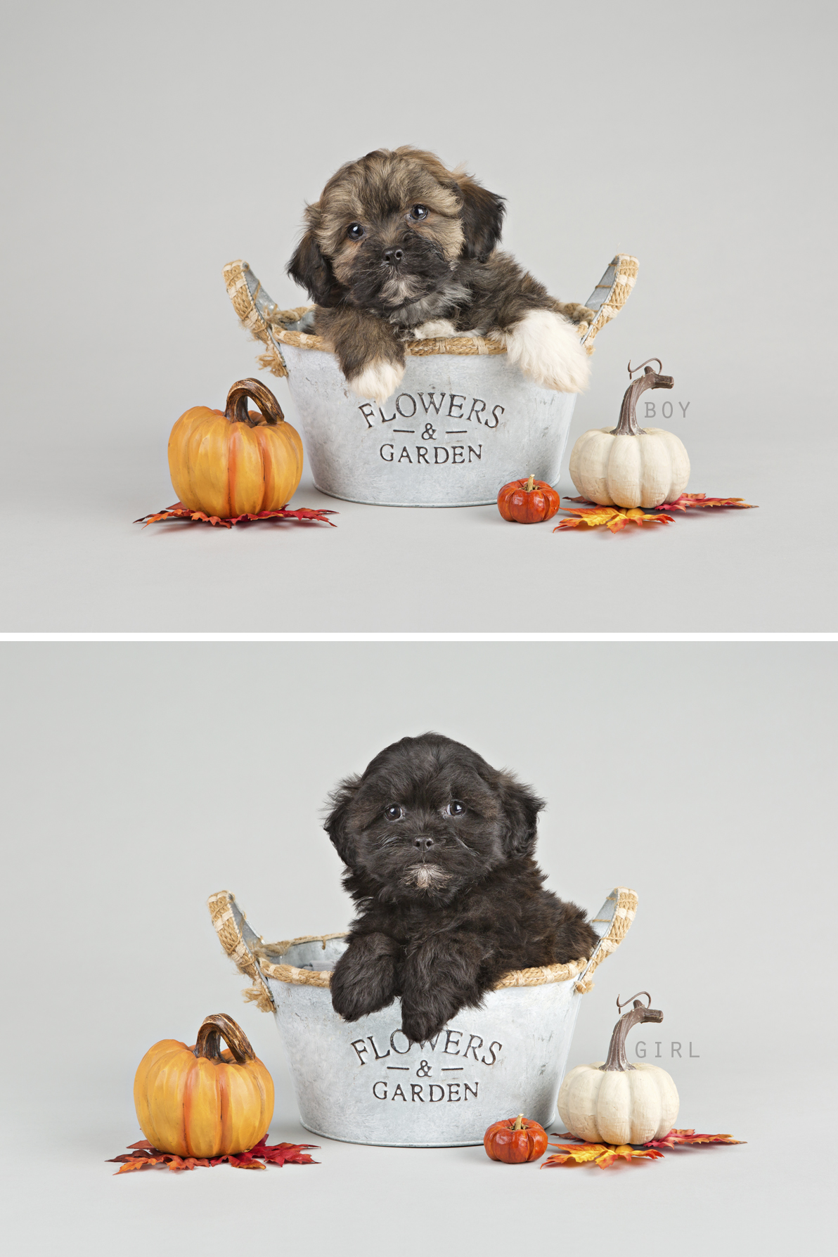 """alt+""""willowbrook kennel ontario puppies for sale"""""""