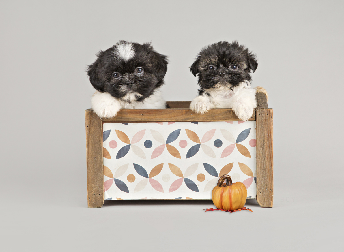 shih tzu puppies for sale in ontario