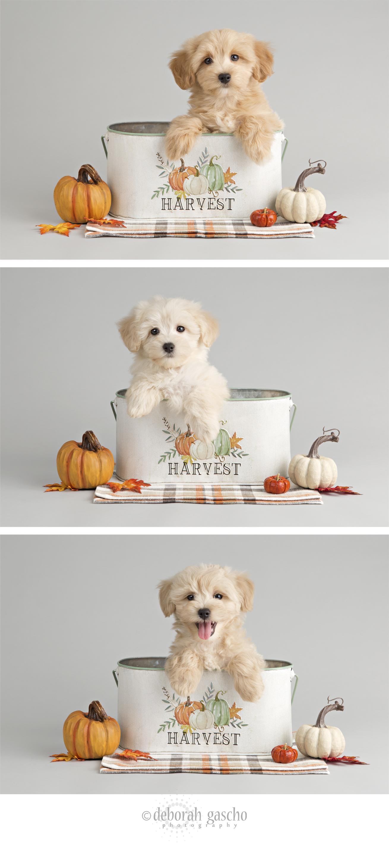 "alt=""maltipoo puppies for sale in Ontario"""